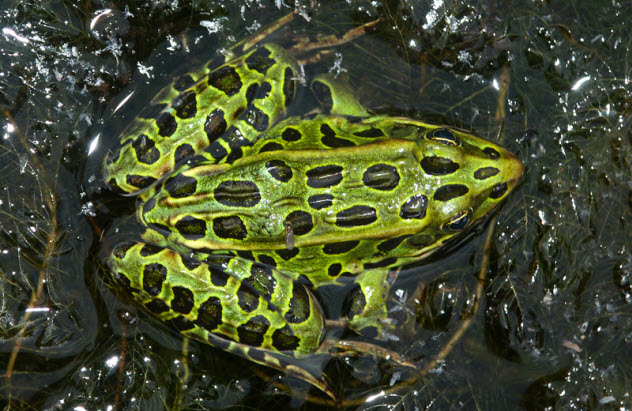 1a-northern-leopard-frog_29025738_SMALL