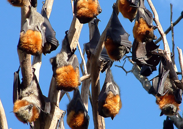 2-grey-headed-flying-foxes