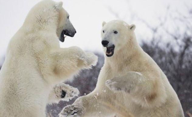 3-polar-bears-manitoba