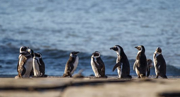 5-african-penguins