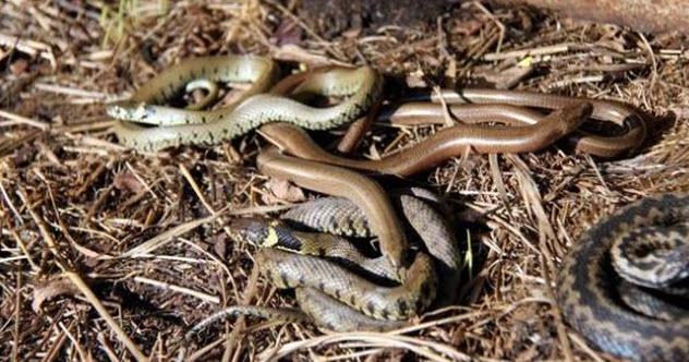 6-black-snakes-ghana