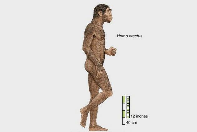 10a-homo-erectus