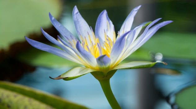 6a-blue-water-lily_90238375_small