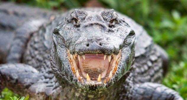 7a-crocodile_22028519_small