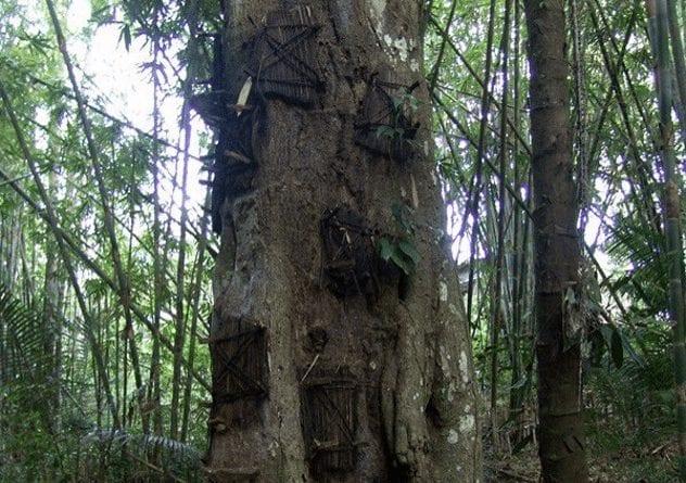 toraja-baby-tree
