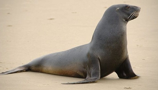 4-new-zealand-sea-lion