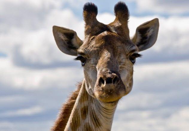 5a-caesars-giraffe-539223540