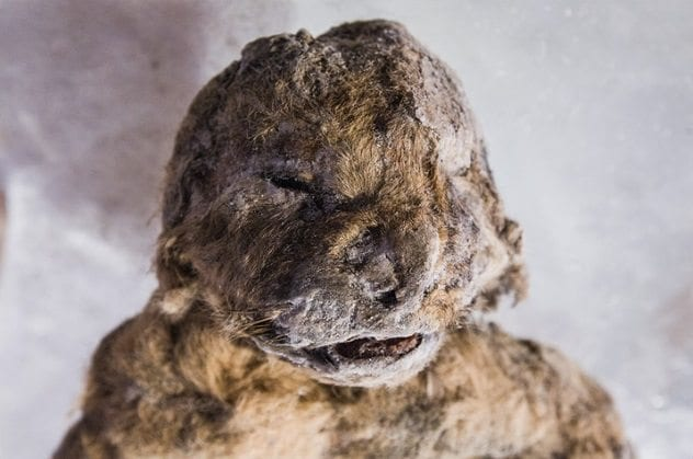 preserved-cave-lion