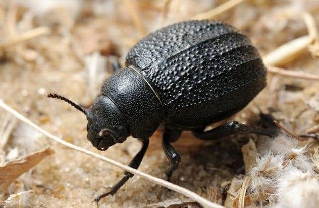 10-namib-desert-beetle
