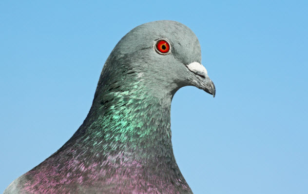 3-pigeon-head_000019906494_Small