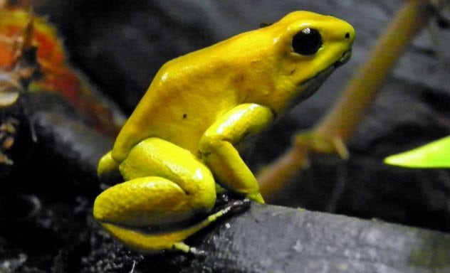 6-golden-poison-dart-frog