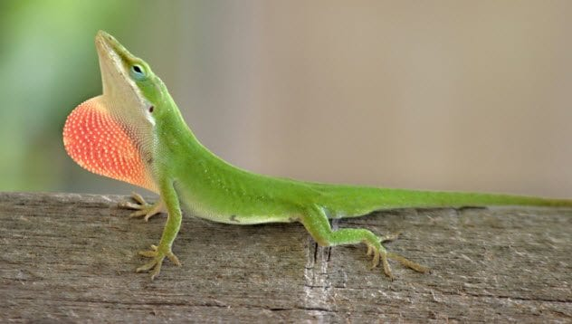 8a-green-anole-140261668