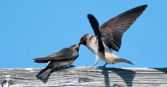 9a-cliff-swallows-185126361