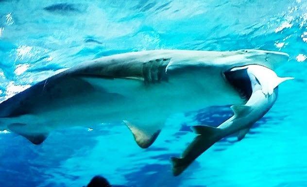 1-shark-eating-shark-coex-aquarium