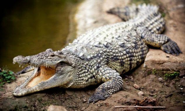 2a-crocodile-162999399
