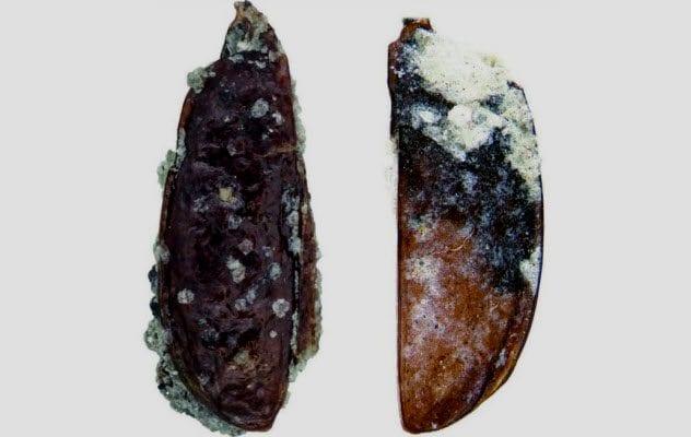3a-balls-antarctic-tundra-beetle