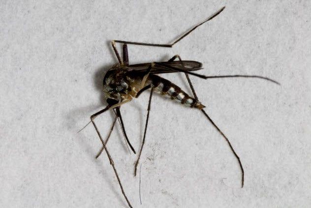 4b-dead-mosquito-123084857