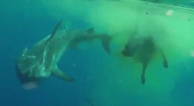 Swallowed By Sharks 7-shark-attacking-zebu-cow