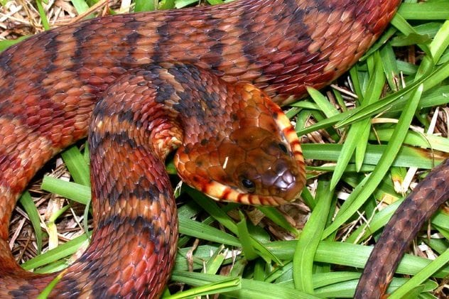 banded-water-snake