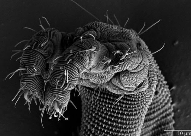 5-Osperalycus-tenerphagus,
