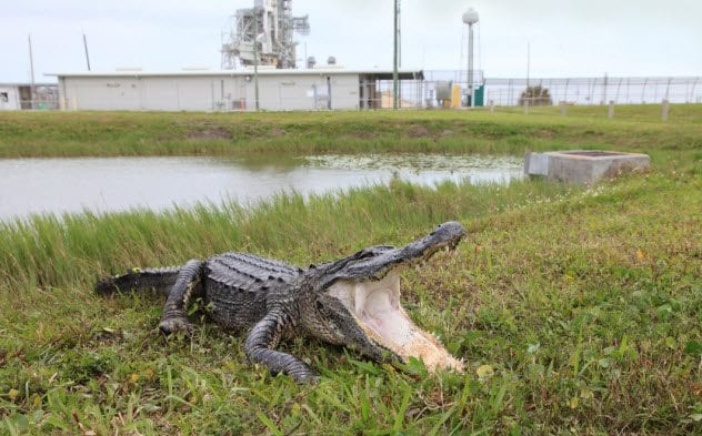 10a-alligator-at-nasa