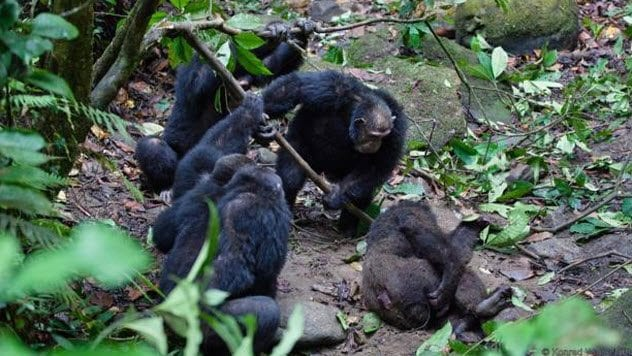 2-chimp-group-attacks