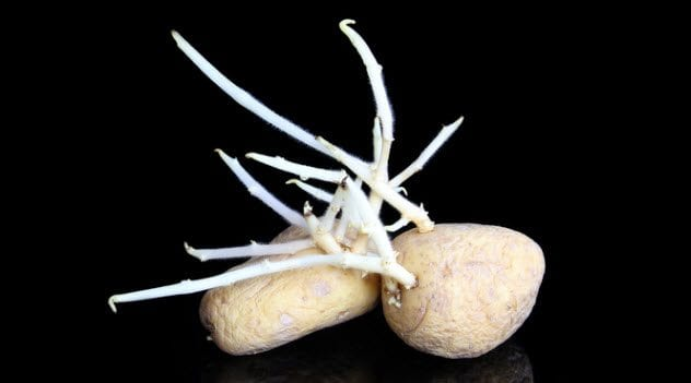 8a-sprouting-potatoes-541000726