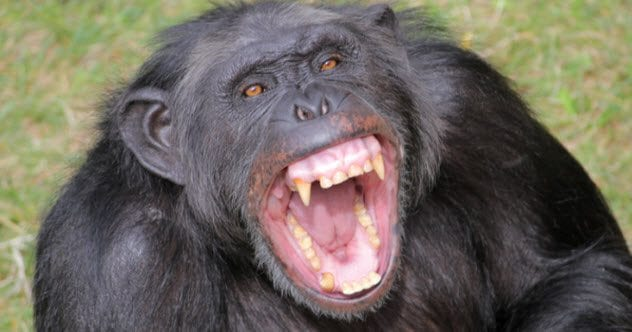 10 Facts About Chimpanzees That Hold A Dark Mirror To