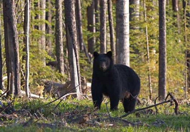 1-minnesota-bear