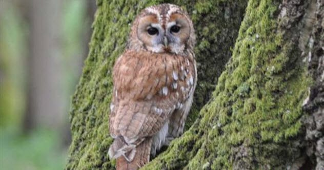 2-tawny-owl