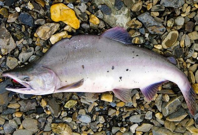3-pink-salmon