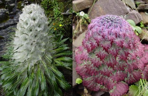 6-two-himalayan-snow-lotus-species