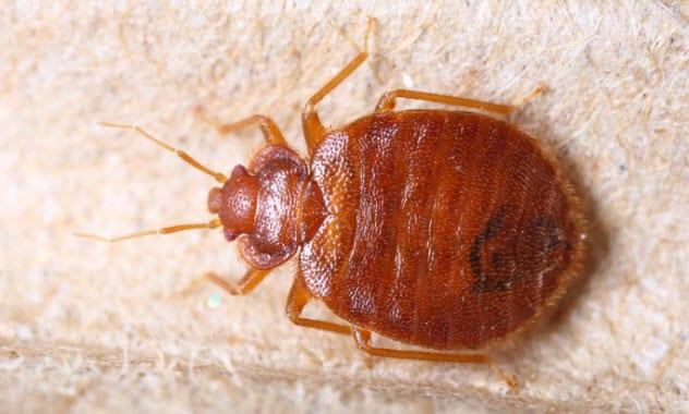 8b-bedbug-165162859