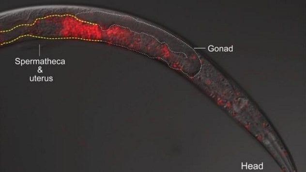 Caenorhabditis Sperm Invasion