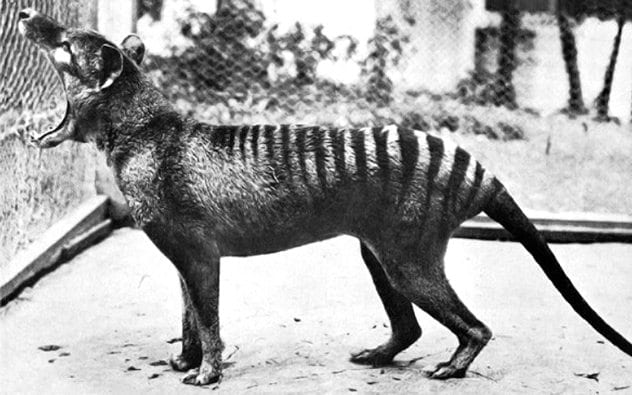 Image of: Prehistoric Creatures Otherwise Known As The Tasmanian Tiger This Australian Native Was Considered Officially Extinct In 1936 Further Like Many On This List These Marsupials Listverse Top 10 Extinct Animals That Scientists Want To Bring Back Listverse