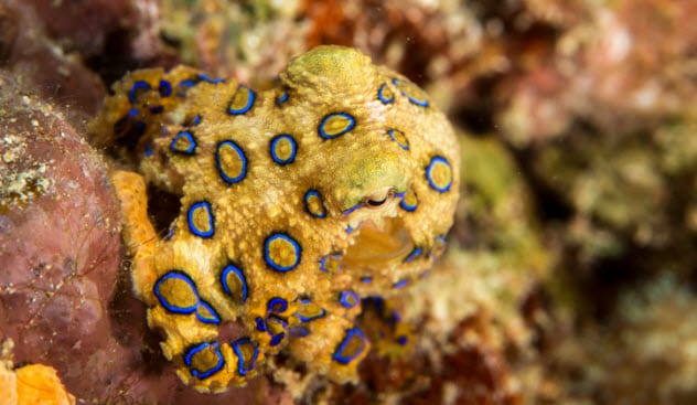 5a-blue-ringed-octopus-525876966