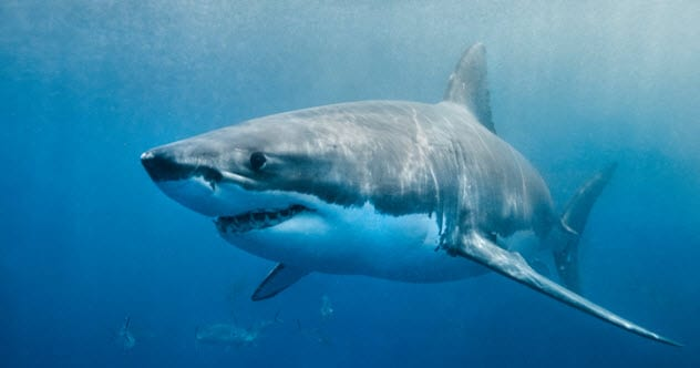 7a-great-white-shark-533130811