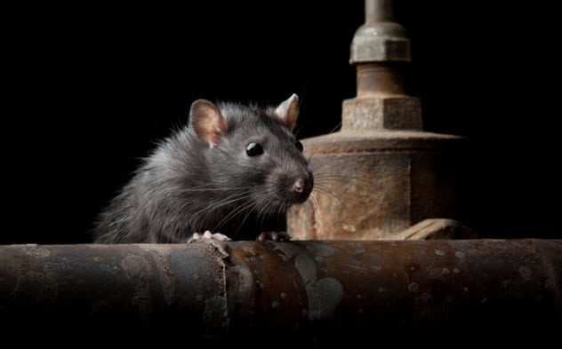 9a-rat-infestation-155021719