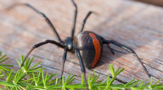9a-redback-spider-467303002