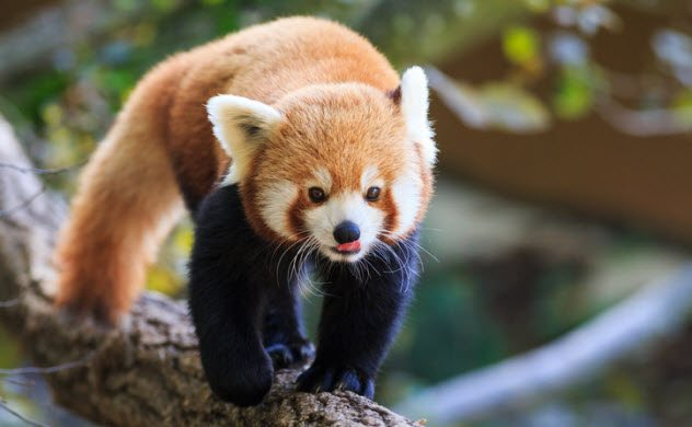 b20d8e6f5 Don't let the cute, fluffy look of the red panda fool you. This is an animal  that you do not want to cuddle with. The red panda (aka firefox) is a  vicious ...