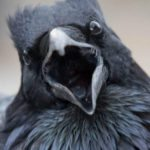 10 Incredible Facts About Ravens