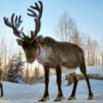 10 Little-Known Facts About Reindeer