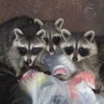 10 Funniest Events Involving Raccoons