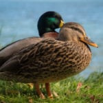 10 Horrifying Facts About Ducks
