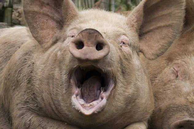 Robert Picton Pig Farmer