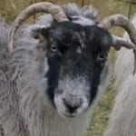 10 Unusual Stories And Studies Involving Sheep