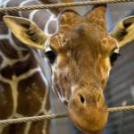 Top 10 Unusual Facts And Stories About Giraffes