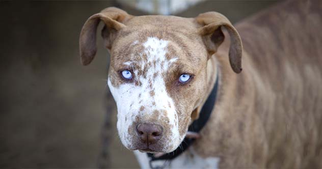 Top 10 Things You Probably Get Wrong About Pit Bulls