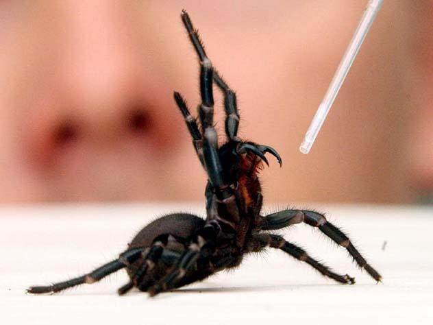 Atrax Robustus funnel web spider