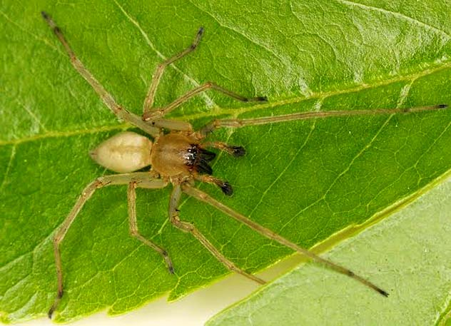 Cheiracanthium Inclusum Yellow Sac spider